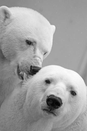 polar-bear-196317_640