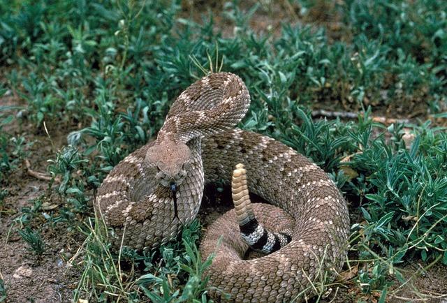 rattlesnake-902539_640