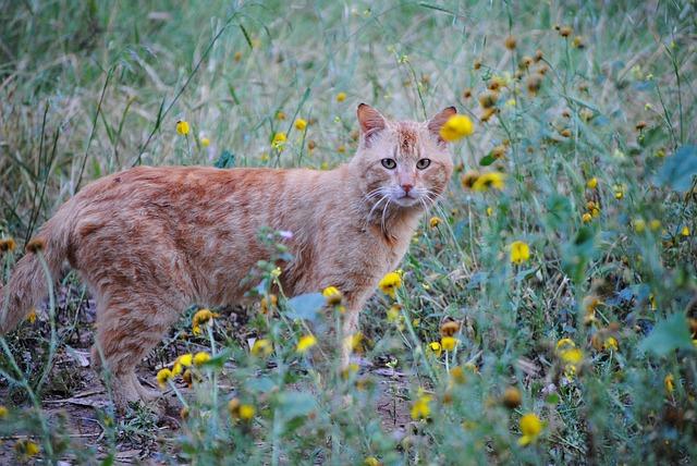 ginger-cat-730165_640