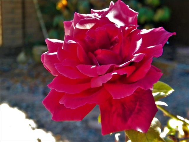 2nd rose